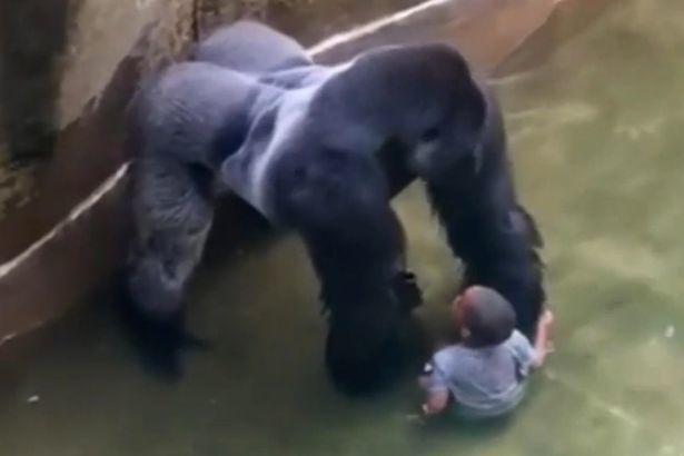 khỉ đột bị bắn, khỉ đột, Harambe