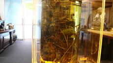 Củ sâm Ngọc Linh 156 tuổi vô địch thế giới