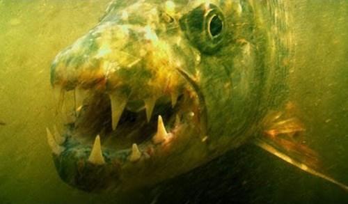 Dân chơi, Hà Nội, thủy quái ăn thịt, Congo, cá cảnh, cá Koi, thú chơi, cá rồng, bể cá