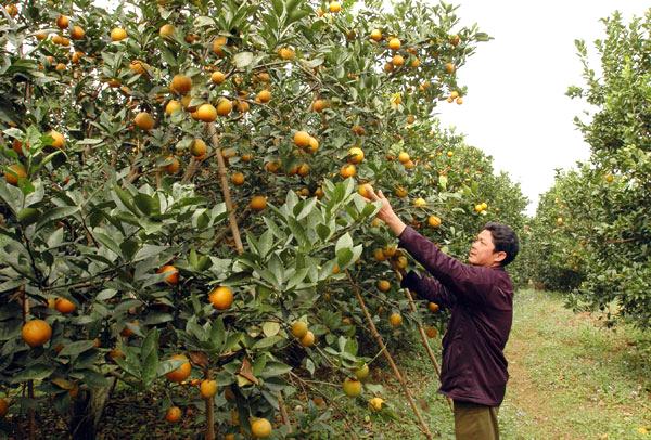 Cam Cao Phong xuất xứ Tàu: Dân Hà Thành dính quả độc