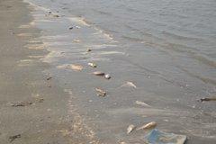 Công bố nguyên nhân cá chết bất thường dạt biển Nghệ An