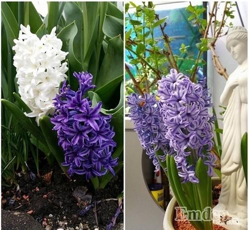 Mê hoặc trước khu vườn rộn ràng hoa lá của mẹ Việt ở Thụy Sĩ