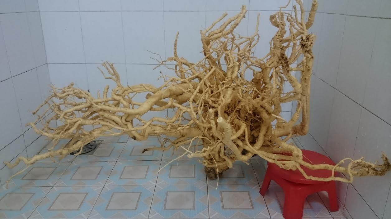 Củ đinh lăng bậc nhất Việt Nam, ngâm 300 lít rượu bồi bổ