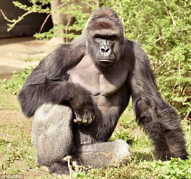 khỉ đột Harambe, bắn chết khỉ đột, làm cha mẹ