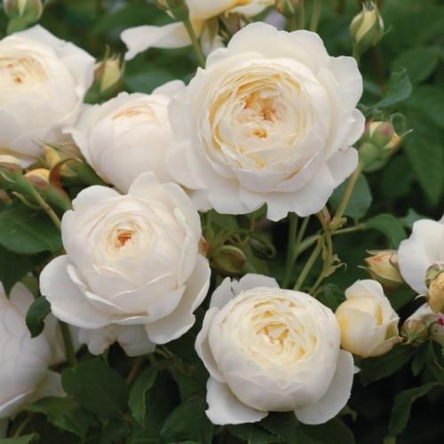Những giống hoa hồng ngoại đẹp mê mẩn lại cực dễ trồng ở Việt Nam