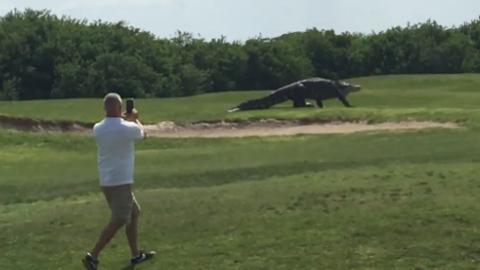 10 clip 'nóng': Cá sấu khủng bất ngờ xuất hiện trên sân golf