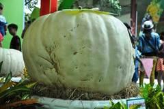 """Bí ngô nặng 1 tạ cùng trái cây """"khủng"""" hội tụ ở Sài Gòn"""