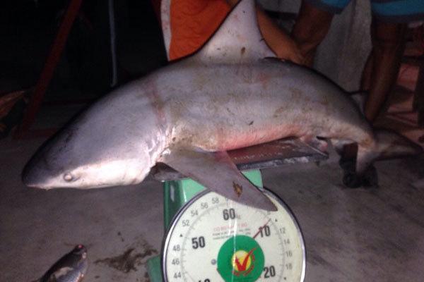 Chuyện lạ: Bắt được cá mập ở sông Vàm Cỏ