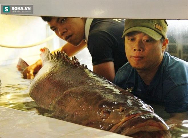 Cá mú Côn Đảo 130kg còn sống chờ đại gia xuống tiền
