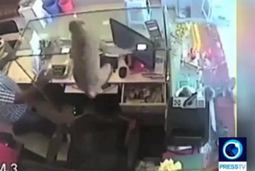 Khỉ cuỗm cọc tiền chuồn mất khiến chủ hàng trang sức choáng