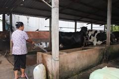 Dân nuôi bò Củ Chi gửi sữa cho người thân tắm
