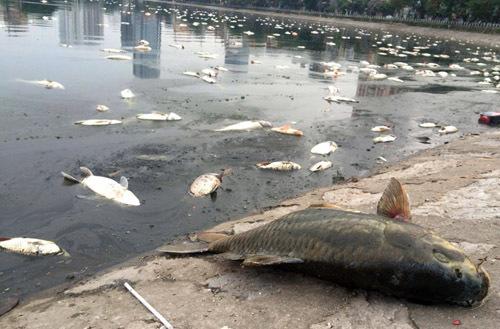 Vớt khoảng 5 tấn cá chết ở hồ Hoàng Cầu