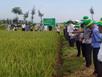 Phân bón Phú Mỹ giúp lúa Chiêm Xuân năng suất cao