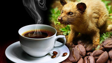 Sự thật đau đớn về ly cà phê chồn đắt đỏ