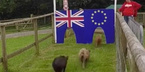 Anh ở lại EU hay không, phụ thuộc vào mấy chú lợn này?