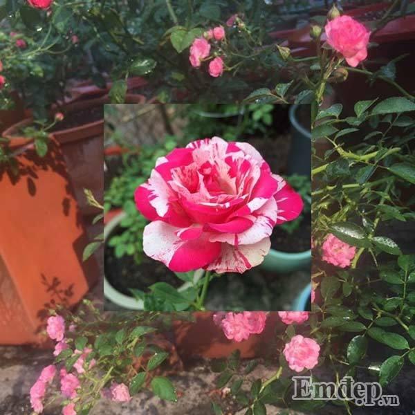 vườn hồng, Tây Ninh, cây cảnh, vườn hoa, hoa hồng