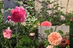 Vẻ đẹp ngất ngây đầy quyến rũ của vườn hồng ở Tây Ninh