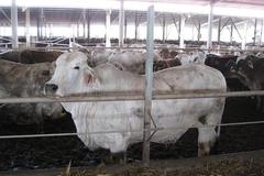 Dùng búa đập đầu giết bò, Úc cấm xuất khẩu bò sang Việt Nam