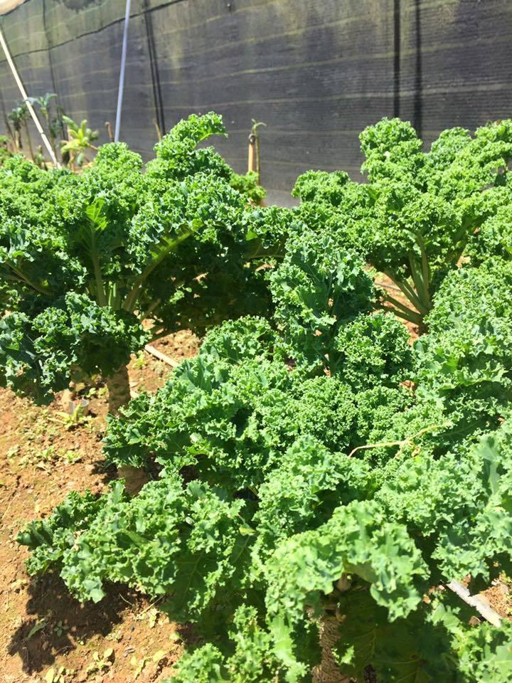 Rau cải cao 1,5m, ăn nửa năm chưa hết ở Đà Lạt