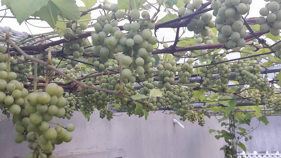 Chuyện lạ Việt Nam: Giàn nho Pháp trĩu quả trên sân thượng