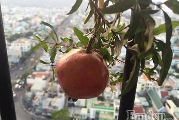 Mẹ đảm trồng vườn cây ăn quả, rau sạch tươi tốt trên ban công chỉ 4m2