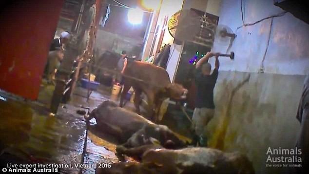 Đập búa tạ giết bò: Chuyện dã man chấn động?