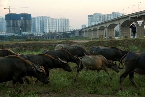 Vợ chồng, Hà Nội, để dành, đàn trâu, thịt trâu, nuôi trâu, nông dân, hồi môn, chăn nuôi, trâu bò