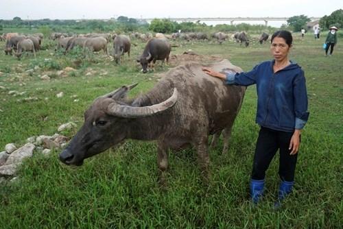 Vợ chồng Hà Nội để dành cho con đàn trâu 4 tỷ đồng