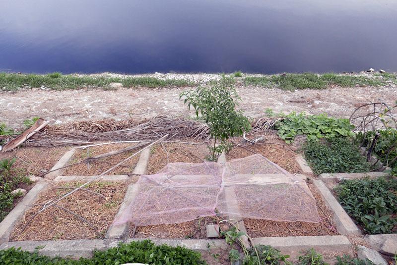 Những ô rau sạch bên con sông bẩn bậc nhất Hà thành