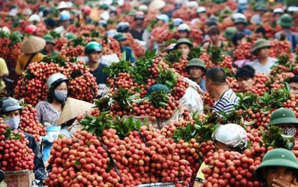 Tỏi đen mác Nhật 150 USD/kg: Nỗi đau nông sản Việt