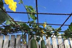 """Mẹ Việt ở Úc chia sẻ """"bí kíp"""" trồng rau, quả xanh bốn mùa"""
