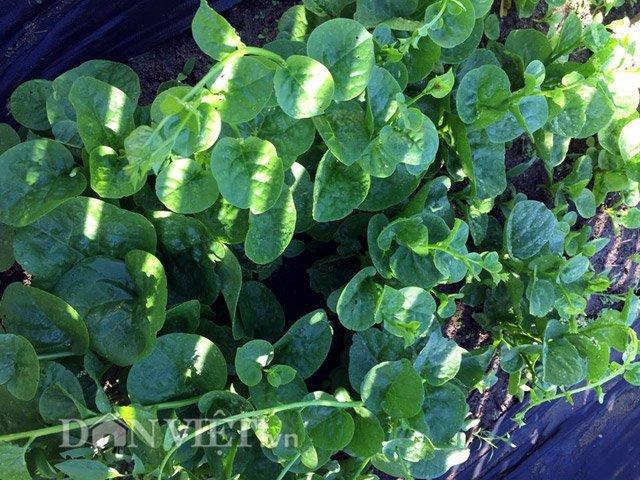 mẹ Việt, rau xanh, quả sạch, Việt Nam, bầu bí, mướp, rau muống, Australia