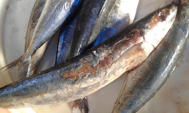 Đáng sợ với cá nục xịn 'chỉ đáng cho mèo ăn' ở Hà Nội