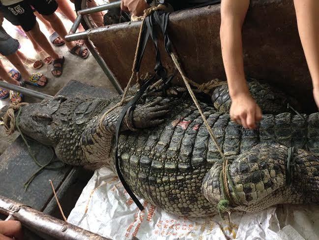 cá sấu, hà nội