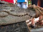 Hình ảnh đáng sợ về cá sấu 70kg bắt được ở HN