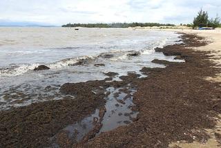 Rong biển chết khô dạt bờ hàng trăm mét tại Quảng Bình