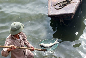 Hà Nội: Cá chết ven hồ Tây