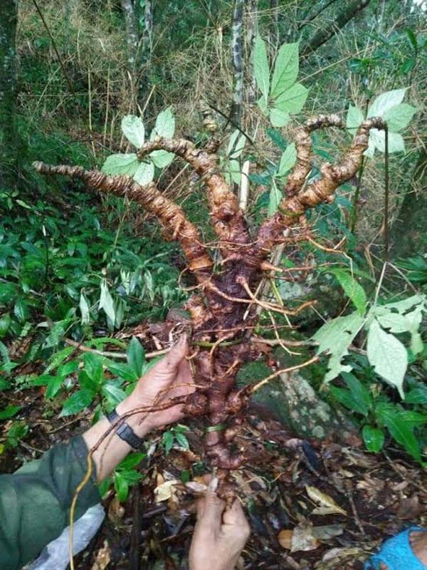 Đi rừng đào được củ sâm Ngọc Linh cổ 250 triệu
