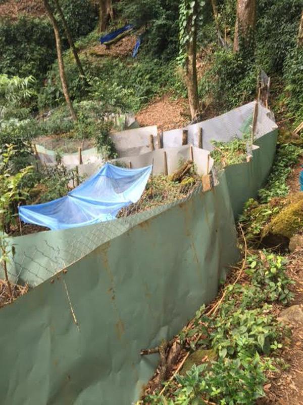 Sâm Ngọc Linh cổ 30.000 USD trong vườn sâm 3 triệu USD