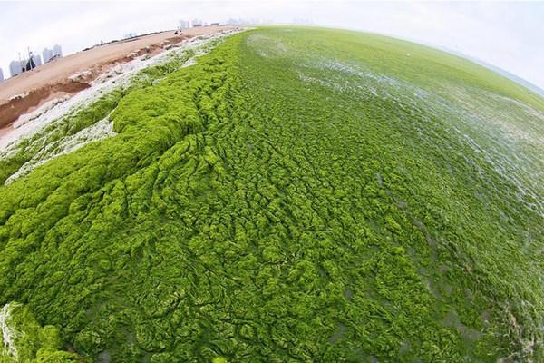 Tảo xanh ken đặc bờ biển Trung Quốc