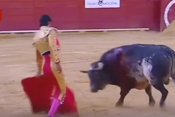 Tranh cãi việc giết mẹ bò tót trả thù cho đấu sĩ
