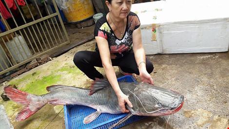 Cá lăng 'khủng' to bằng người lớn trên sông Sêrêpốk