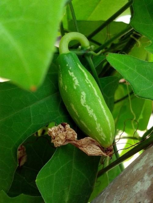 Tự trồng lặc lày vừa lấy quả giải nhiệt, vừa phủ xanh ban công
