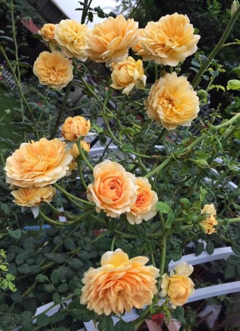 Vườn hoa hồng hơn 1.000 cây nổi tiếng ở Bình Phước