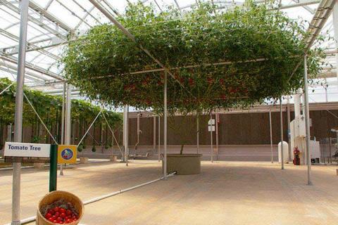 Cận cảnh những cây cà chua cho 14.000 quả mỗi vụ