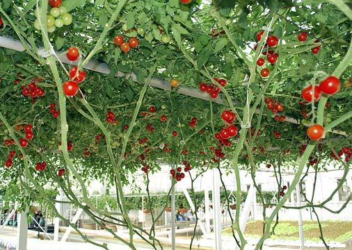 Giàn cà chua siêu 'mắn', cho hàng nghìn quả mỗi vụ