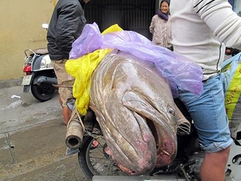'Thủy quái' to bằng người sa lưới: Xẻ thịt nhậu hết