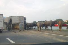 Hà Nội: Xe chở trâu va xe khách, tắc 10km