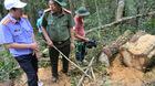 Bóc đường dây tàn sát rừng pơ mu ở biên giới