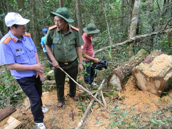 phá rừng pơ mu, tàn phá rừng pơ mu, phá rừng ở biên giới, phá rừng pơ mu ở Quảng Nam